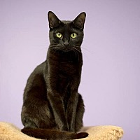 Domestic Shorthair Cat for adoption in Atlanta, Georgia - Labelle	150611