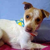 Jack Russell Terrier Mix Dog for adoption in Encino, California - Lance