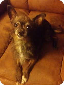Chinese Crested/Chihuahua Mix Dog for adoption in Hagerstown, Maryland - Gidget