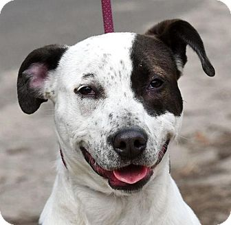 Pointer/American Pit Bull Terrier Mix Puppy for adoption in New Haven, Connecticut - LUNA