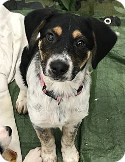 Setter (Unknown Type) Mix Puppy for adoption in waterbury, Connecticut - Siera