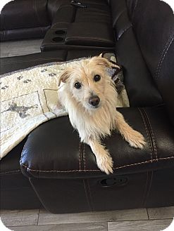Cairn Terrier/Sheltie, Shetland Sheepdog Mix Dog for adoption in Brea, California - Candy