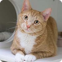 Adopt A Pet :: Bast - Merrifield, VA