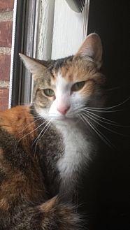 Domestic Shorthair Cat for adoption in Flushing, Michigan - Lorraine