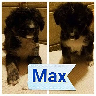 Border Collie/Australian Shepherd Mix Puppy for adoption in LAKEWOOD, California - max