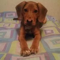 Adopt A Pet :: Gibbs *Foster* - Glen Allen, VA