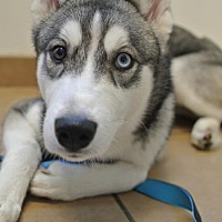 Siberian Husky Puppy for adoption in Sherman Oaks, California - Jules