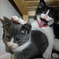 Adopt A Pet :: Oreo 2 and Tango 3 - Fairfax, VA