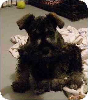 Schnauzer (Miniature) Puppy for adoption in North Benton, Ohio - Gretchen