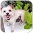 Photo 3 - Maltese/Pomeranian Mix Dog for adoption in Los Angeles, California - TEQULIA