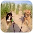 Photo 1 - Chihuahua Mix Dog for adoption in Manahawkin, New Jersey - Max & Pee Wee