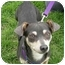 Photo 1 - Chihuahua/Terrier (Unknown Type, Small) Mix Dog for adoption in Vista, California - Howard
