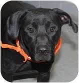 Labrador Retriever Mix Dog for adoption in Minnetonka, Minnesota - Rudy