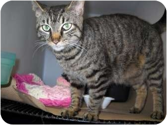 Domestic Shorthair Cat for adoption in Trenton, New Jersey - Sadie (in foster)