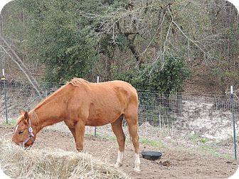 Quarterhorse Mix for adoption in Hammond, Louisiana - Commanche