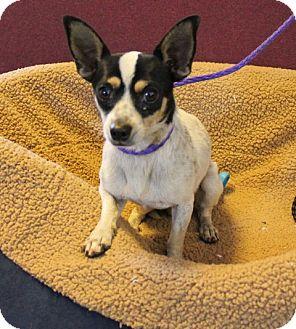 Chihuahua Mix Dog for adoption in Seattle, Washington - Johnny