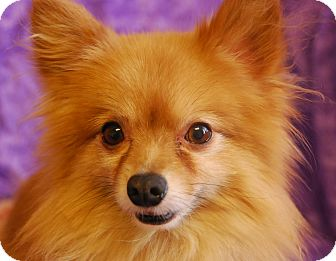 Pomeranian Mix Dog for adoption in Philadelphia, Pennsylvania - Pumpkin