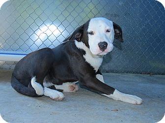 Labrador Retriever Mix Puppy for adoption in Henderson, North Carolina - Robyn