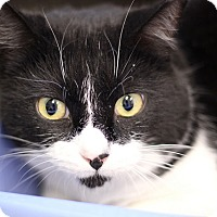 Adopt A Pet :: Batman Bear - Chicago, IL