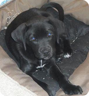 Labrador Retriever Mix Dog for adoption in Americus, Georgia - Samuel