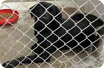 Labrador Retriever Dog for adoption in Sumter, South Carolina - BELLA