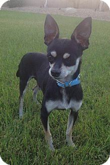 Chihuahua Mix Dog for adoption in Chandler, Arizona - Toby