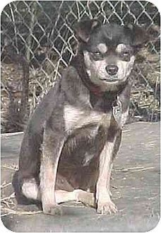 Chihuahua/Toy Fox Terrier Mix Dog for adoption in Portland, Maine - Lozen