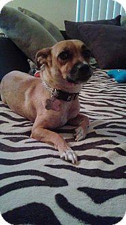 Dachshund Mix Dog for adoption in Las Vegas, Nevada - Trixie