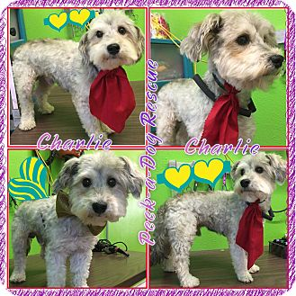Poodle (Miniature)/Terrier (Unknown Type, Small) Mix Dog for adoption in South Gate, California - Charlie