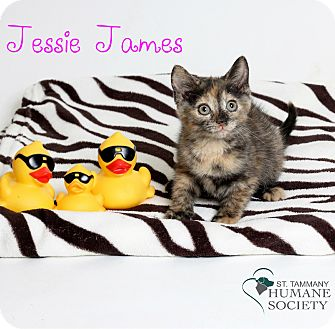 Domestic Shorthair Kitten for adoption in Covington, Louisiana - Jessie James