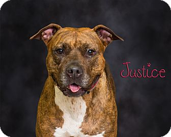 Pit Bull Terrier Mix Dog for adoption in Somerset, Pennsylvania - Justice