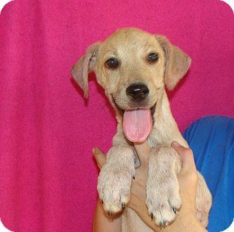 Labrador Retriever/Golden Retriever Mix Puppy for adoption in Oviedo, Florida - Paisley