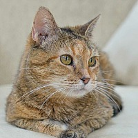 Domestic Shorthair Cat for adoption in Reston, Virginia - Amber - FIV positive