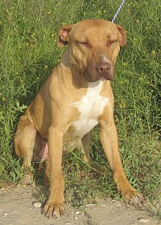 Boxer/Pit Bull Terrier Mix Dog for adoption in Lancaster, California - King