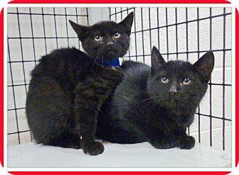 Domestic Shorthair Kitten for adoption in Marietta, Georgia - CASPER & CARBON (R)