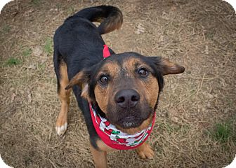 Shepherd (Unknown Type) Mix Dog for adoption in Kingston, Tennessee - Odie