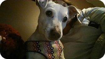 Jack Russell Terrier Mix Dog for adoption in Red Lion, Pennsylvania - Maisey