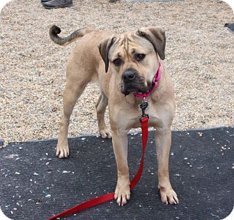 Boxer/Labrador Retriever Mix Dog for adoption in Medfield, Massachusetts - Noodle