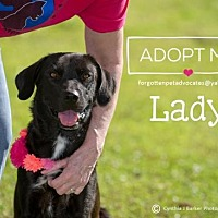 Labrador Retriever/Labrador Retriever Mix Dog for adoption in Pearland, Texas - Lady