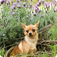 Adopt A Pet :: Foxy mama - Auburn, CA