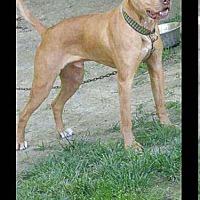 Bull Terrier/Labrador Retriever Mix Dog for adoption in Foristell, Missouri - Vinnie