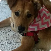 Adopt A Pet :: Ginger - in Maine - kennebunkport, ME