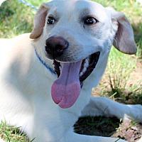 Labrador Retriever Mix Dog for adoption in Glastonbury, Connecticut - Lady