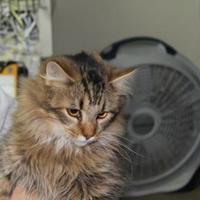 Domestic Longhair/Domestic Shorthair Mix Cat for adoption in Robinson, Illinois - Truman