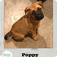 Adopt A Pet :: Poppy - Plainfield, IL