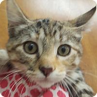Adopt A Pet :: Jitterbug - Hawk Point, MO