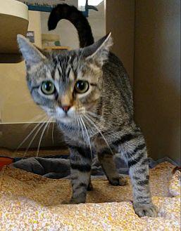 Domestic Shorthair Cat for adoption in Ottawa, Kansas - Leanne *$20 Fee 8/2-8/31*