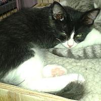 Adopt A Pet :: Binx - Whittier, CA