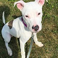 Adopt A Pet :: Daisy - Wheaton, IL