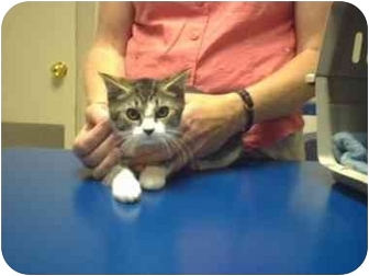 Domestic Shorthair Kitten for adoption in Saanichton, British Columbia - Trapper